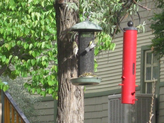 Finch at the Feeder