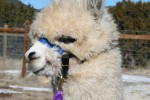 Hollywick Farms Alpacas